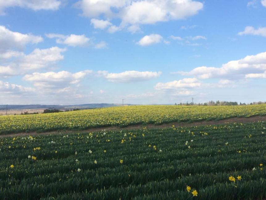 murthly daffodils